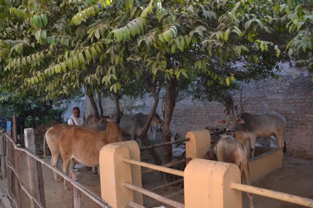 Cows Munger Mandir