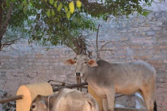 Cow Seva